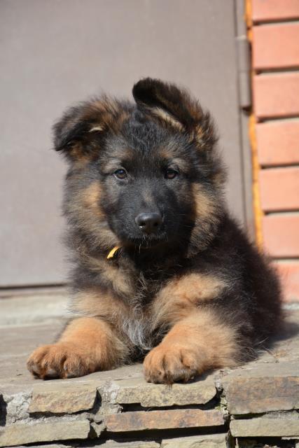 фото щенки немецкой овчарки