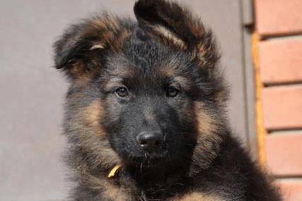 Хотите щенка длинношерстной немецкой овчарки? Вам к нам!
