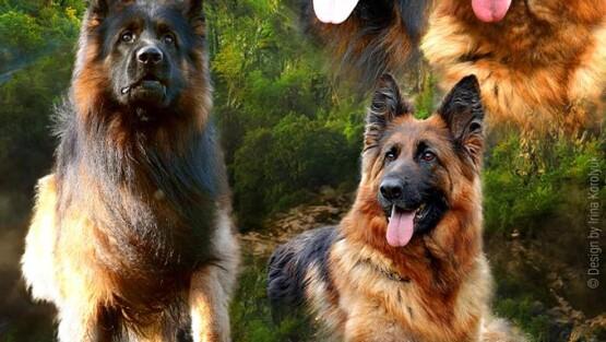 Длинношёрстные щенки от выездной вязки в Польше  GRISU vom FRANKENGOLD и FEYA AMADEUS BURG