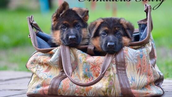 БЕБИ -БУМ в питомнике !Детально на странице щенки!