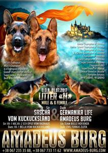 В питомнике родились щенки от великолепной пары  f.SASCHA VOM KUCKUCKSLAND & m.GERMANIKA LIFE AMADEUS BURG
