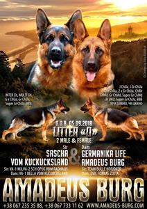 В питомнике щенки от дубль вязки f.SASCHA VOM KUCKUCKSLAND & m.GERMANIKA LIFE AMADEUS BURG