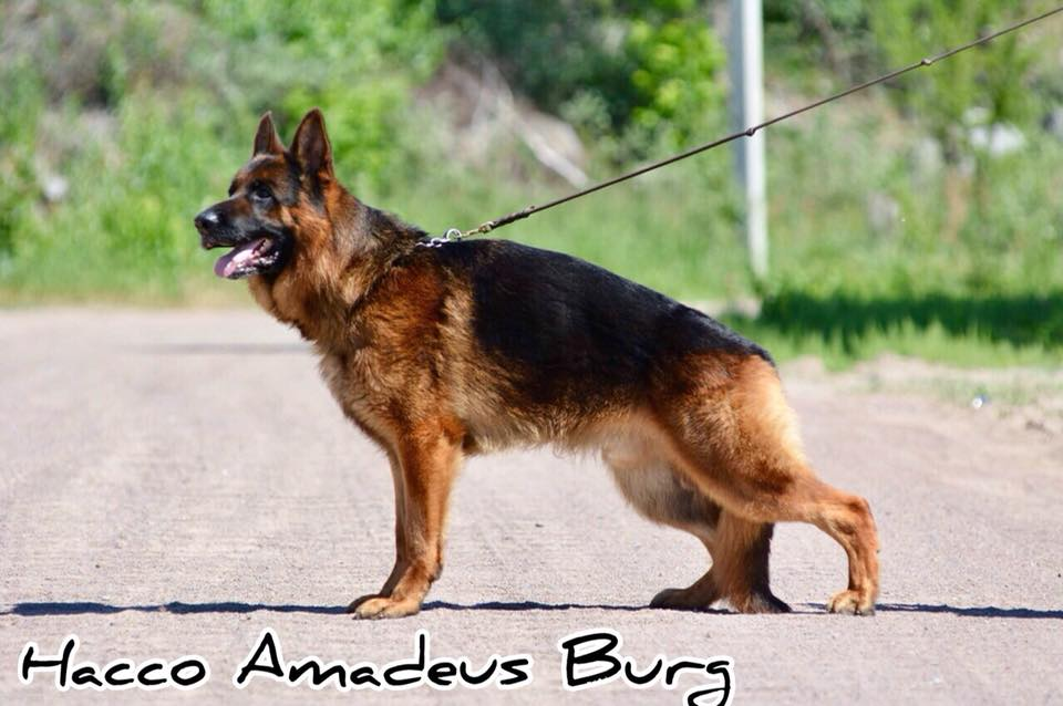 Hacco Amadeus Burg
