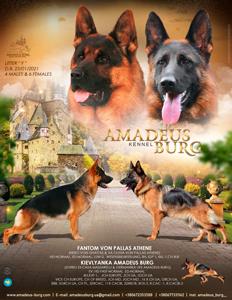 В питомнике родились щенки от великолепной пары f. Fantom von Pallas Athene & m.Kievlyanka Amadeus Burg